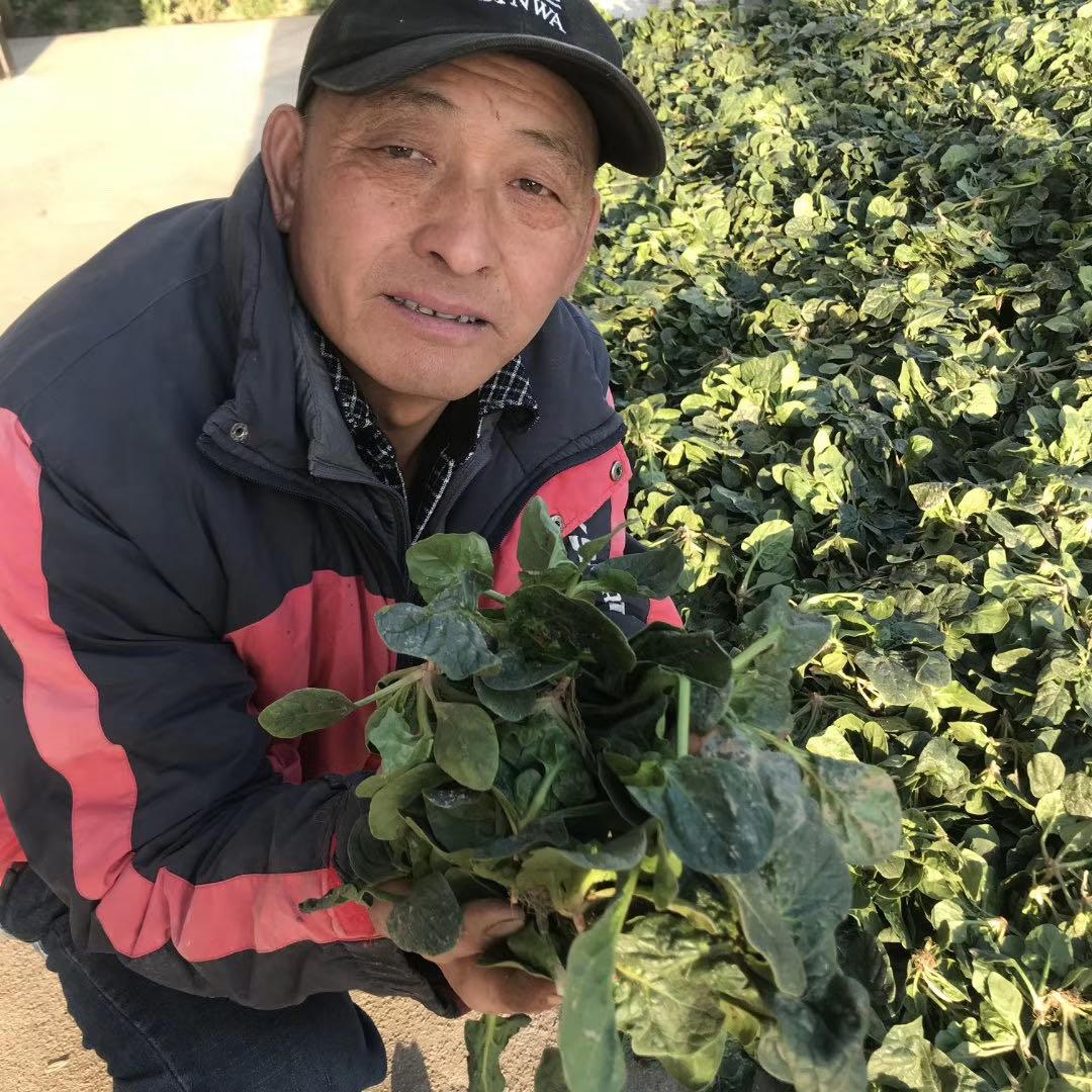 滨海纯露天菠菜基地菠菜种植方法