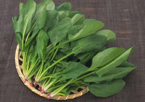 泗洪绿色菠菜种植批发费用有助消化
